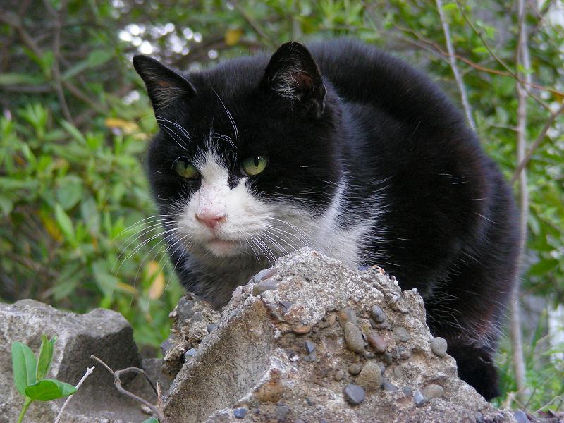 石に乗ってる黒白猫3