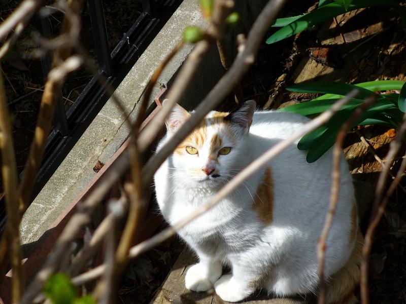 民家の庭の白茶猫3