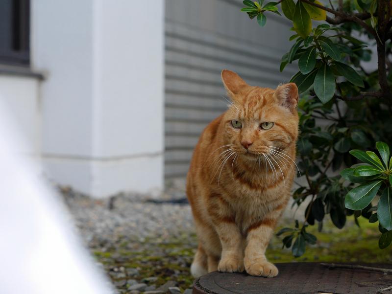 ジーっと見つめるアメショー風の猫1