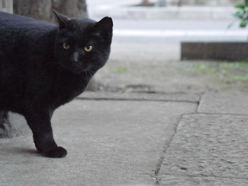 近くに来た黒猫1