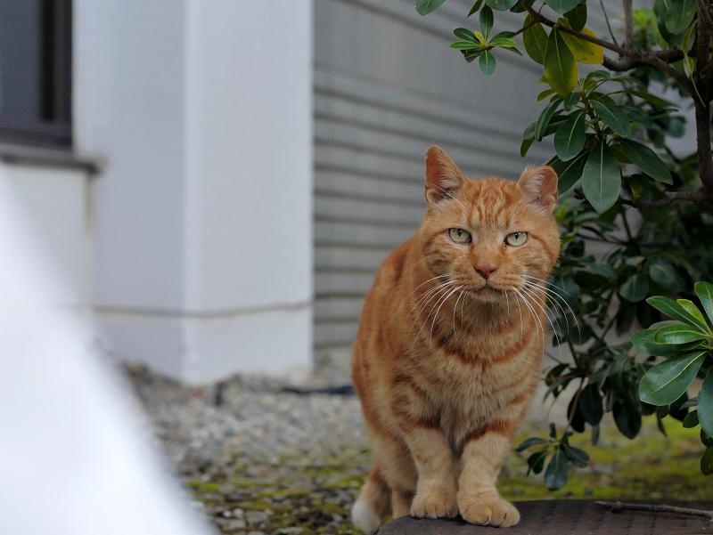 ジーっと見つめるアメショー風の猫2