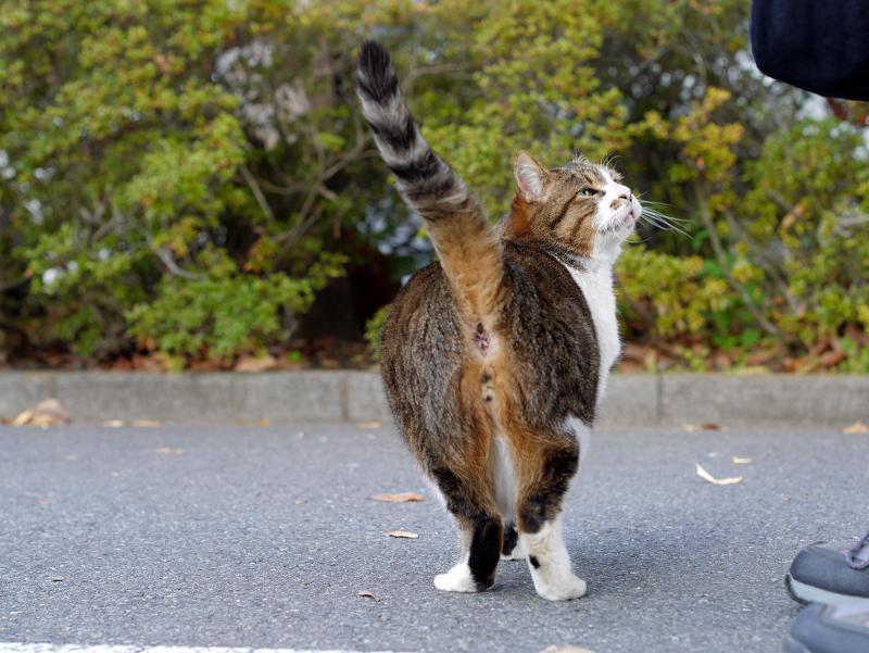 尻尾を立てるキジ白猫2
