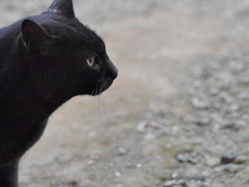 近くに来た黒猫2
