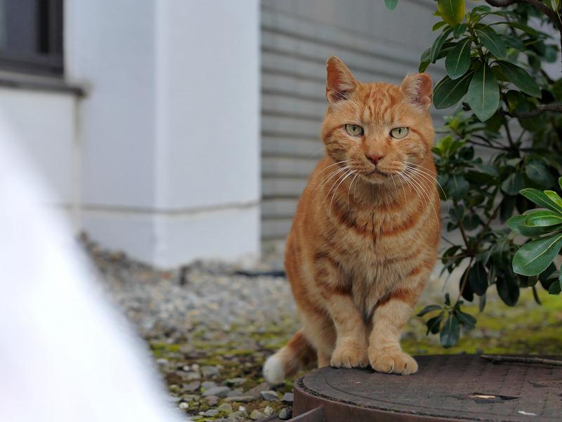 ジーっと見つめるアメショー風の猫3