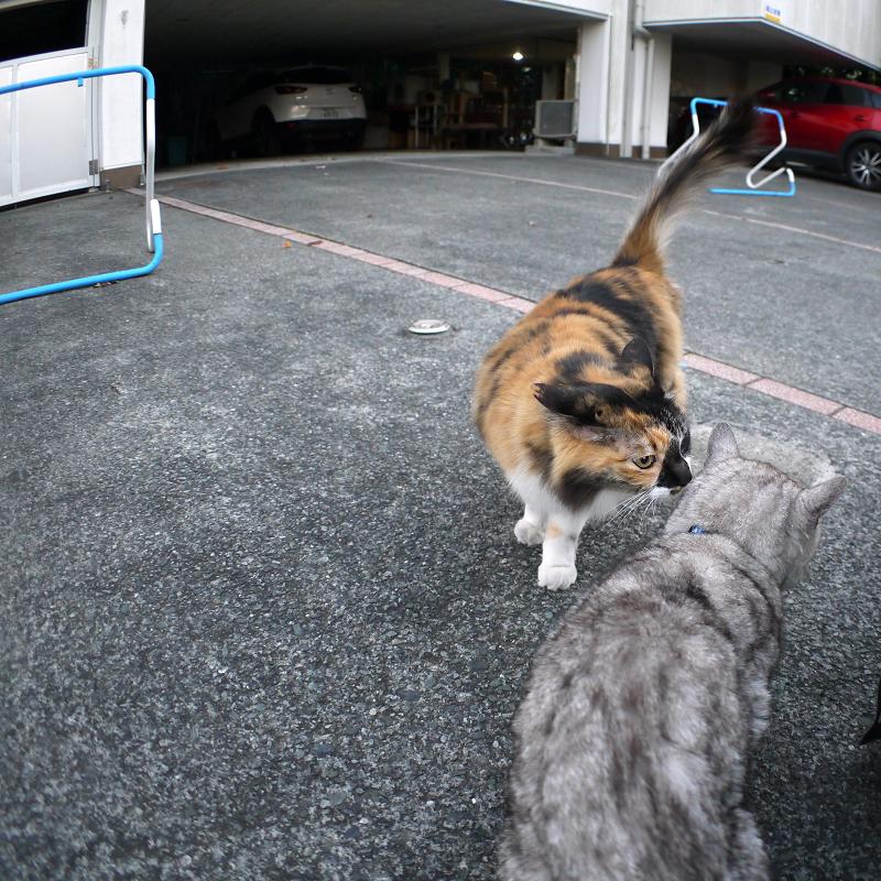 三毛猫と銀猫1