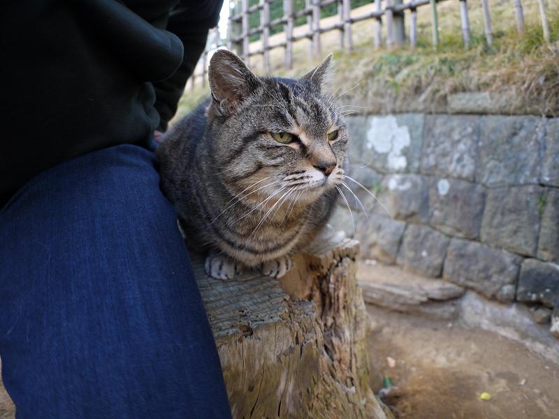 切り株に並んで座ったキジトラ猫1