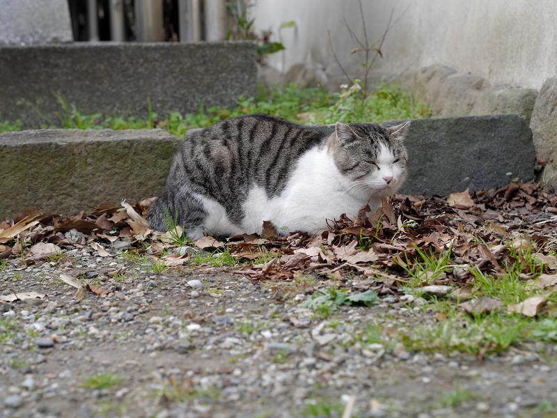 落ち葉の上に座ってるキジ白猫1