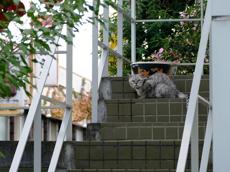 階段にいた銀猫1