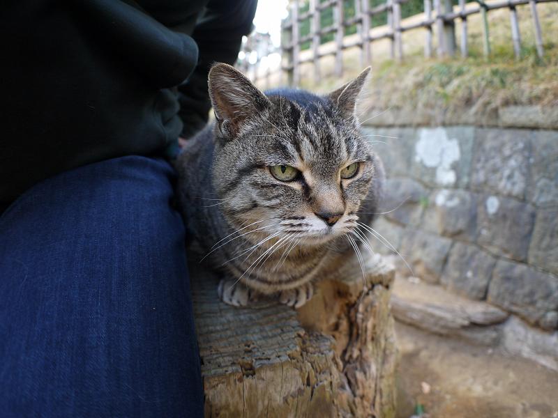 切り株に並んで座ったキジトラ猫2