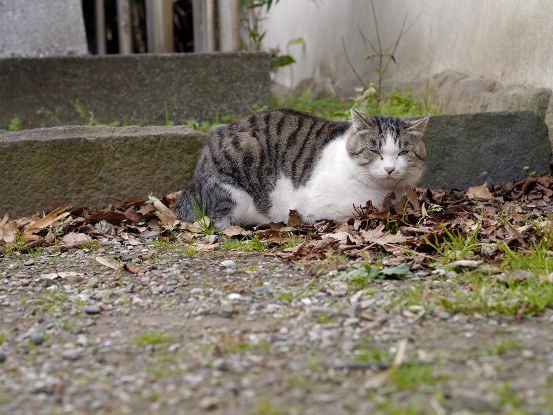 落ち葉の上に座ってるキジ白猫2