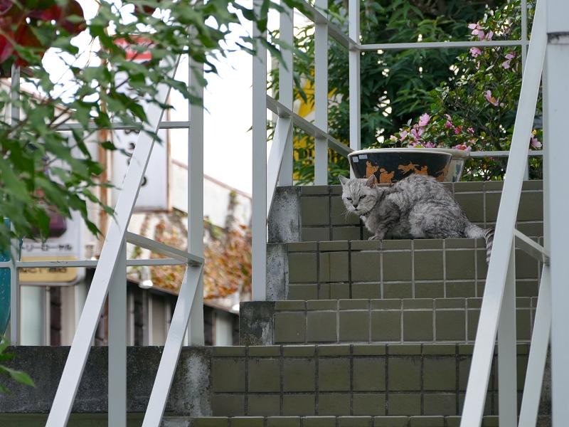 階段にいた銀猫2