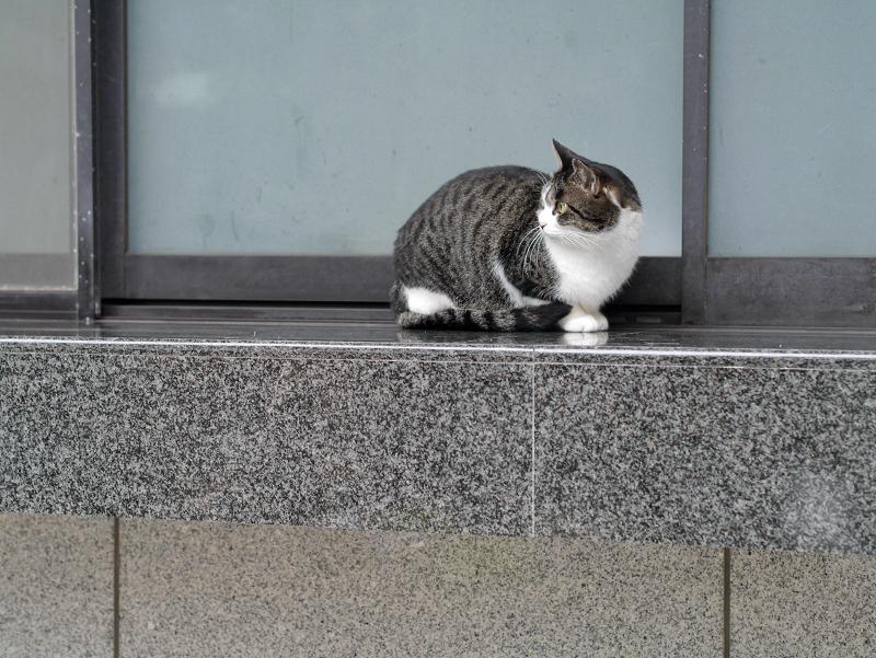 御影石の上のキジ白猫1