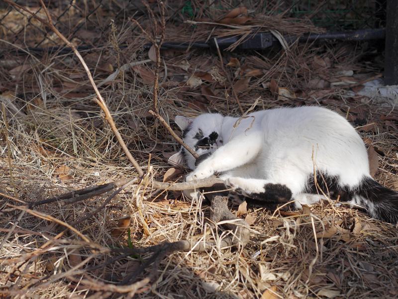 切り株にキックしてる白黒猫1