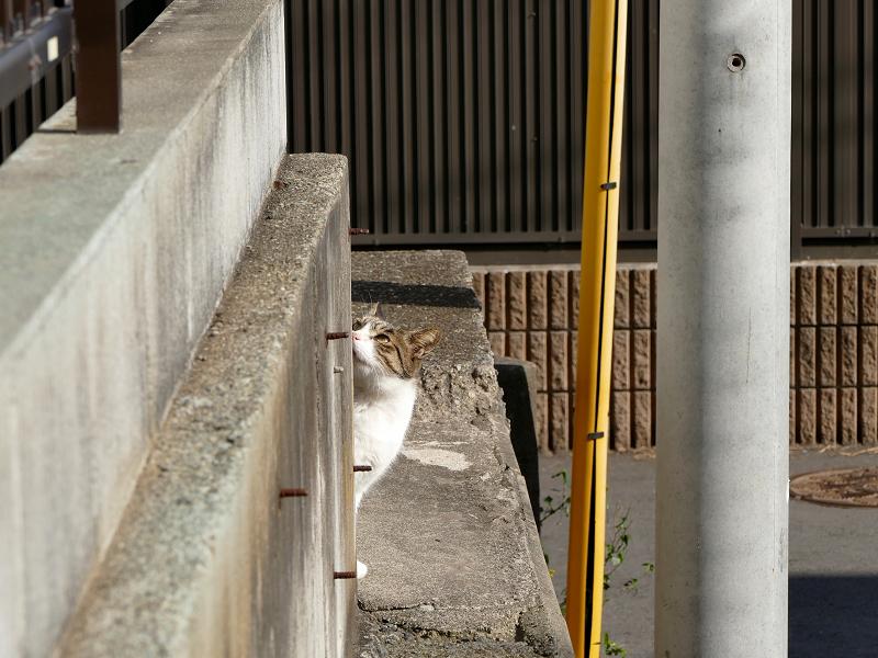 ブロック塀の向こうのキジ白猫1