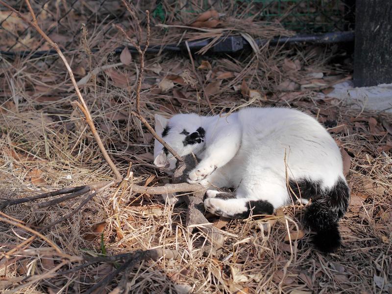 切り株にキックしてる白黒猫2