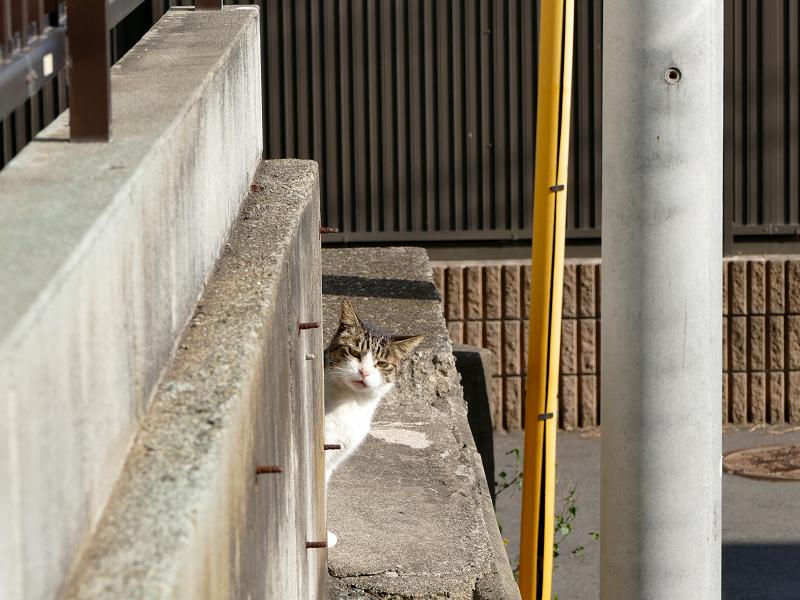 ブロック塀の向こうのキジ白猫2