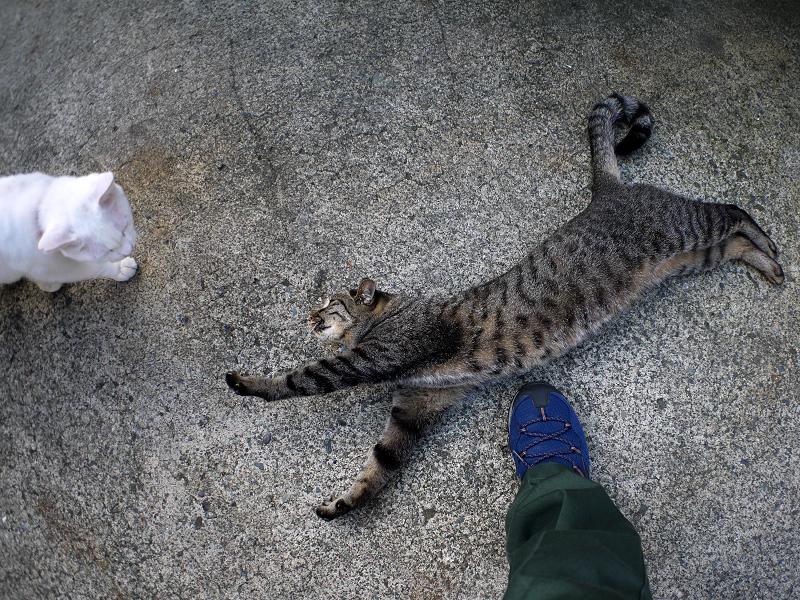 足元で踊るキジトラ猫3