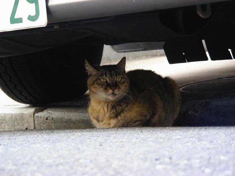 停車車輌の下のキジトラ猫1