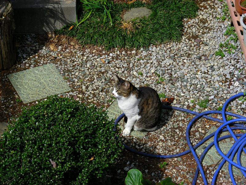 民家の庭にいたキジ白猫1