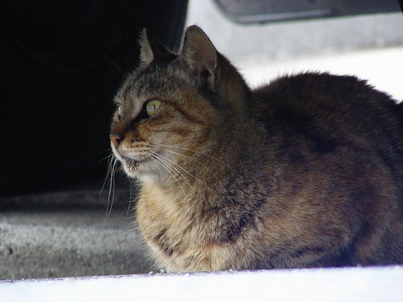 停車車輌の下のキジトラ猫