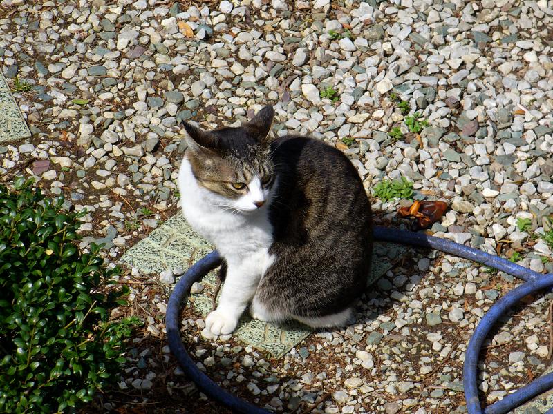 民家の庭にいたキジ白猫2