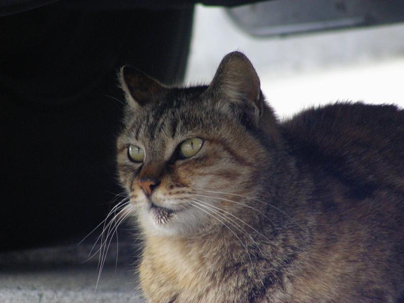 停車車輌の下のキジトラ猫3