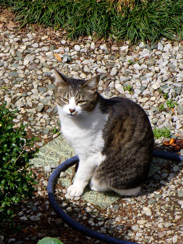 民家の庭にいたキジ白猫3