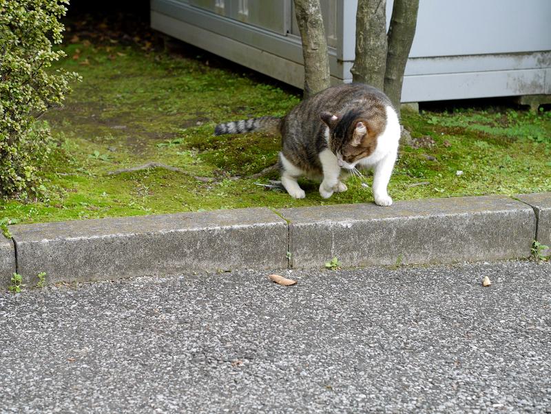 回転するキジ白猫1