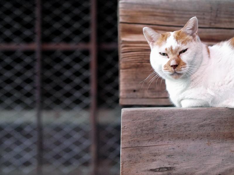 階段の端っこで横になってる茶白猫2