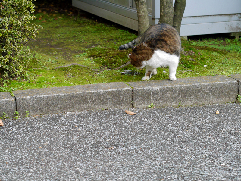 回転するキジ白猫2