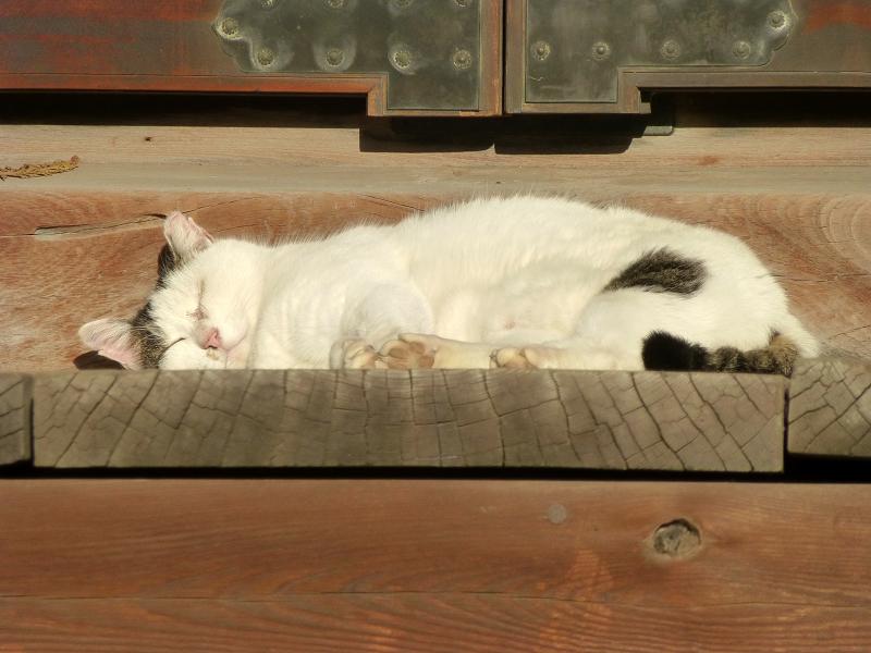 お堂の階段で寝てる白キジ猫