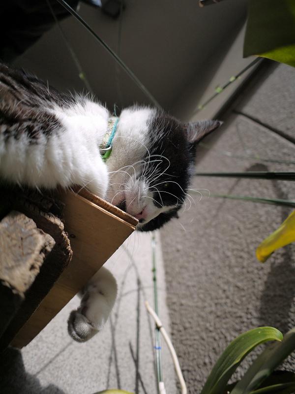 ベンチの角を嗅ぐ黒白猫2