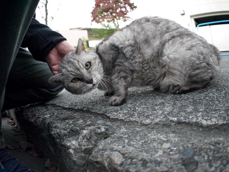 ローアングルでカメラ目線の銀色猫1