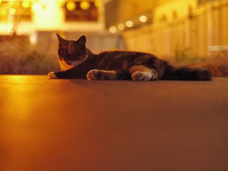 街なかの夜の空き地の三毛猫1