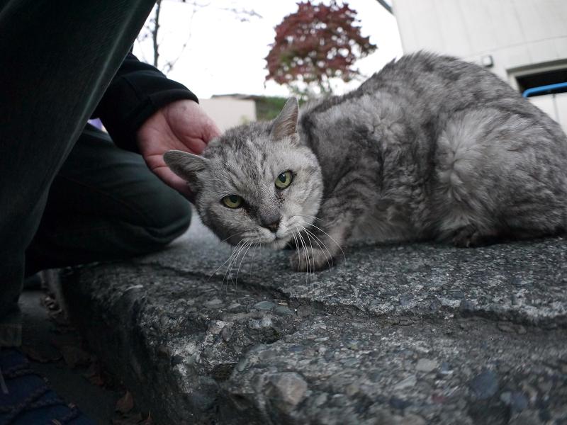 ローアングルでカメラ目線の銀色猫2
