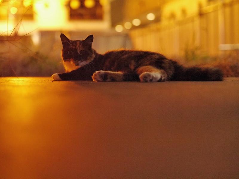 街なかの夜の空き地の三毛猫2