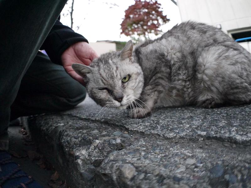 ローアングルでカメラ目線の銀色猫3