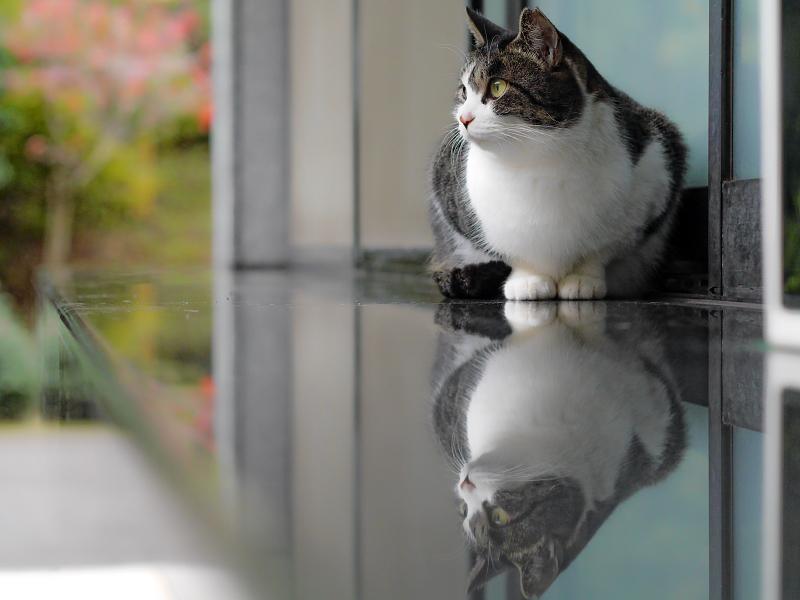 映り込みのキジ白猫1
