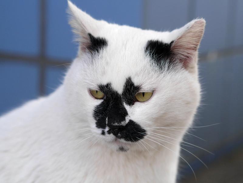 キリリ顔の白黒猫