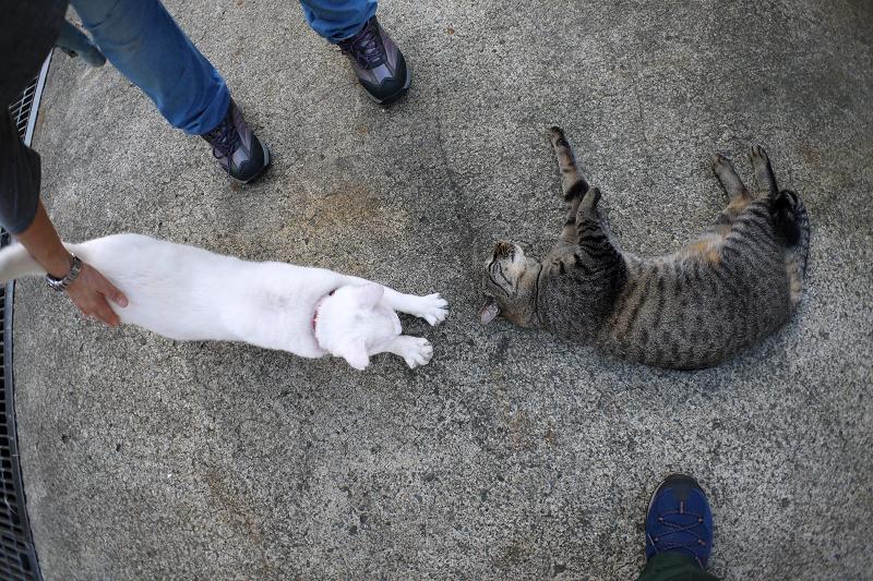 足元のキジトラ猫と白猫3