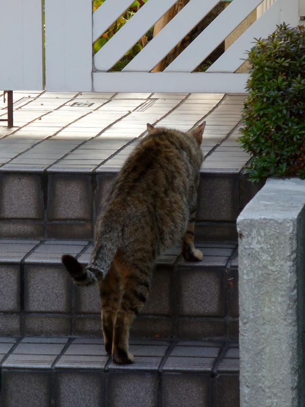 玄関階段から覗くキジトラ猫1