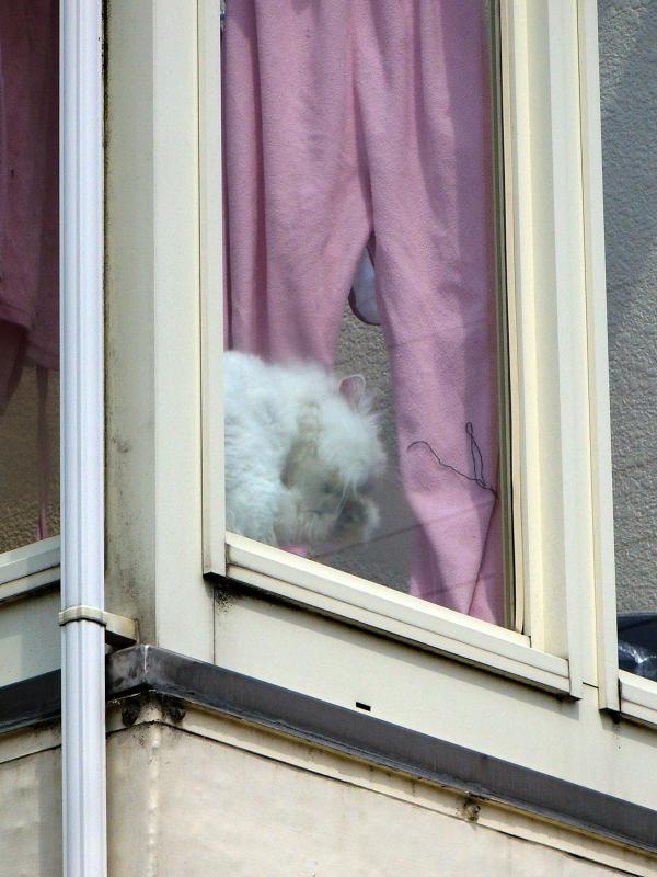 出窓の白い猫