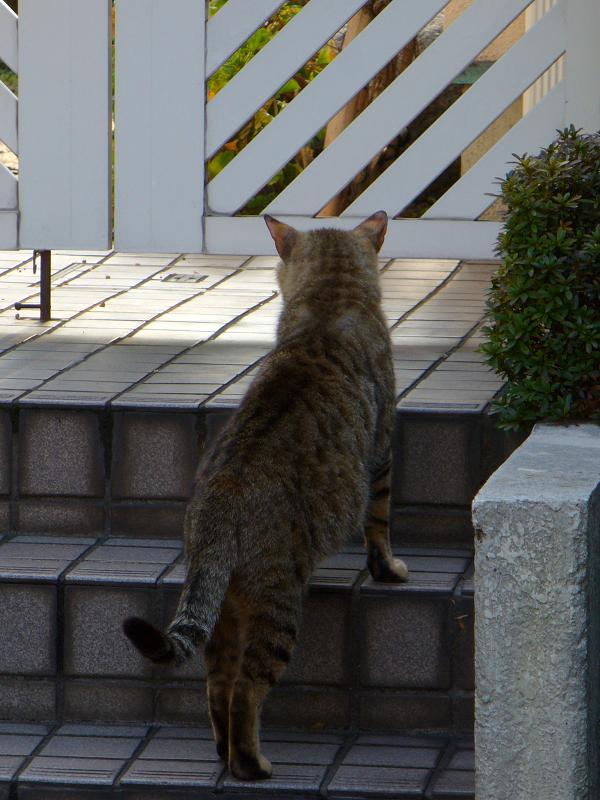 玄関階段から覗くキジトラ猫2