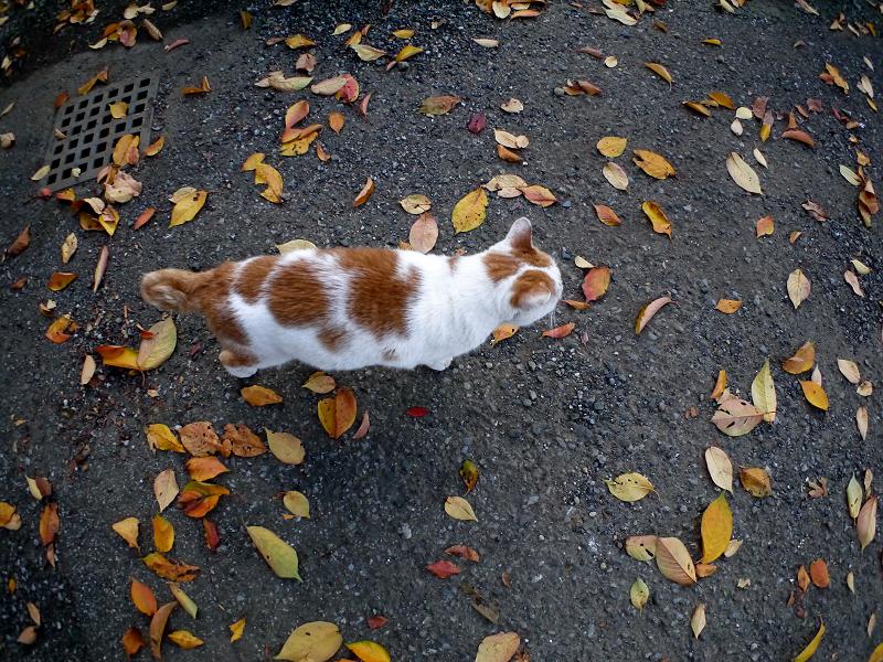 桜落ち葉と白茶猫1