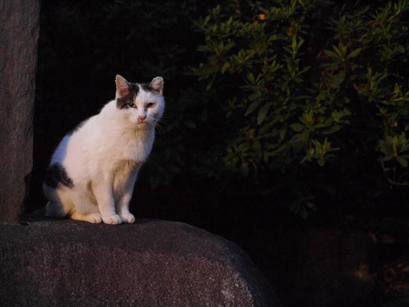 夕闇の白キジ猫1