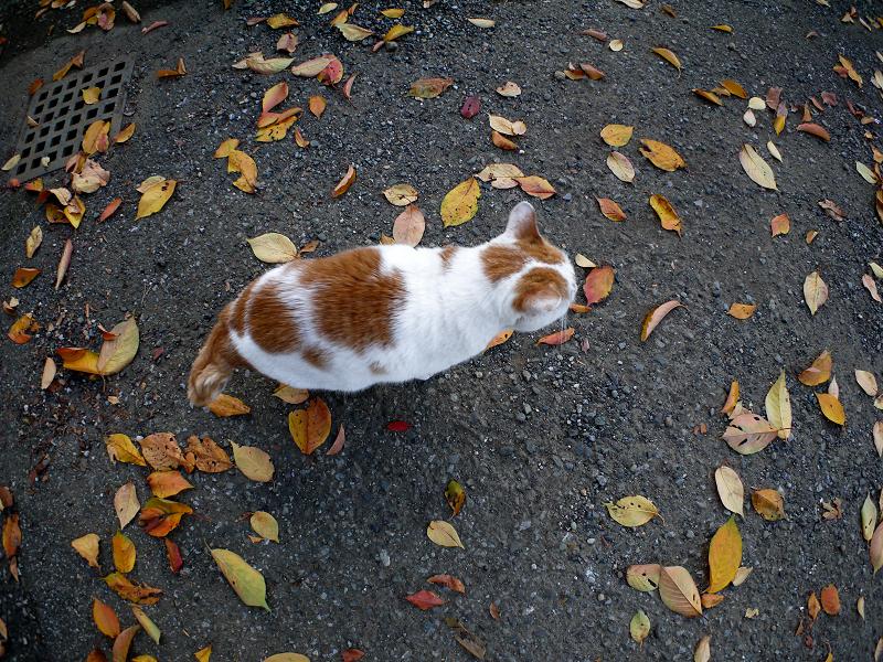 桜落ち葉と白茶猫2