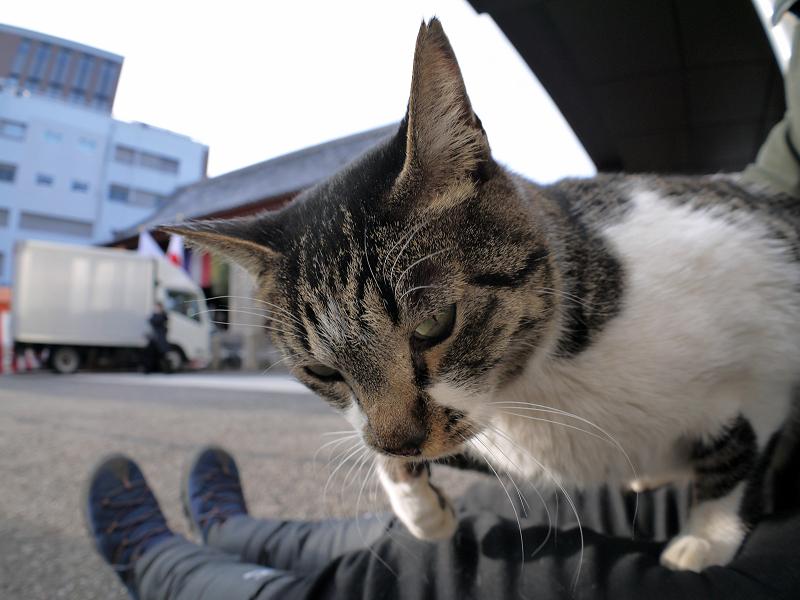 膝で動いてるキジ白猫2