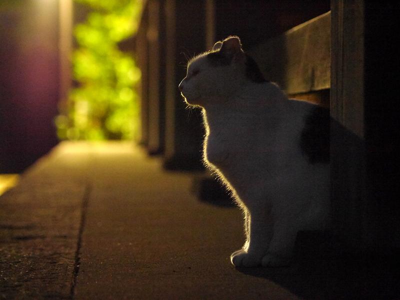 夕闇の白キジ猫2