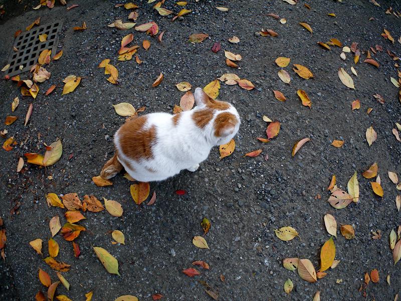 桜落ち葉と白茶猫3