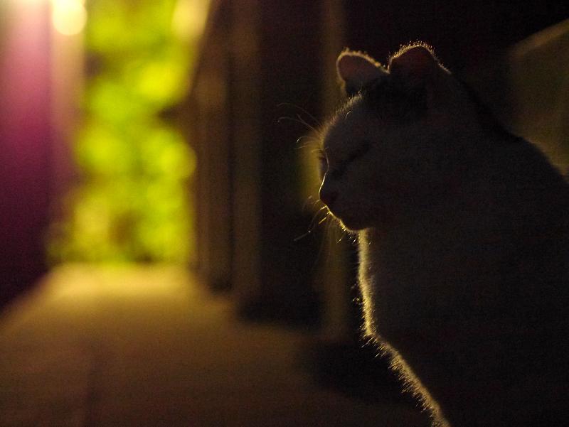 夕闇の白キジ猫3